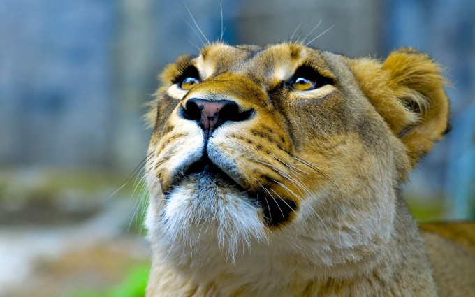 lioness wallpaper hd
