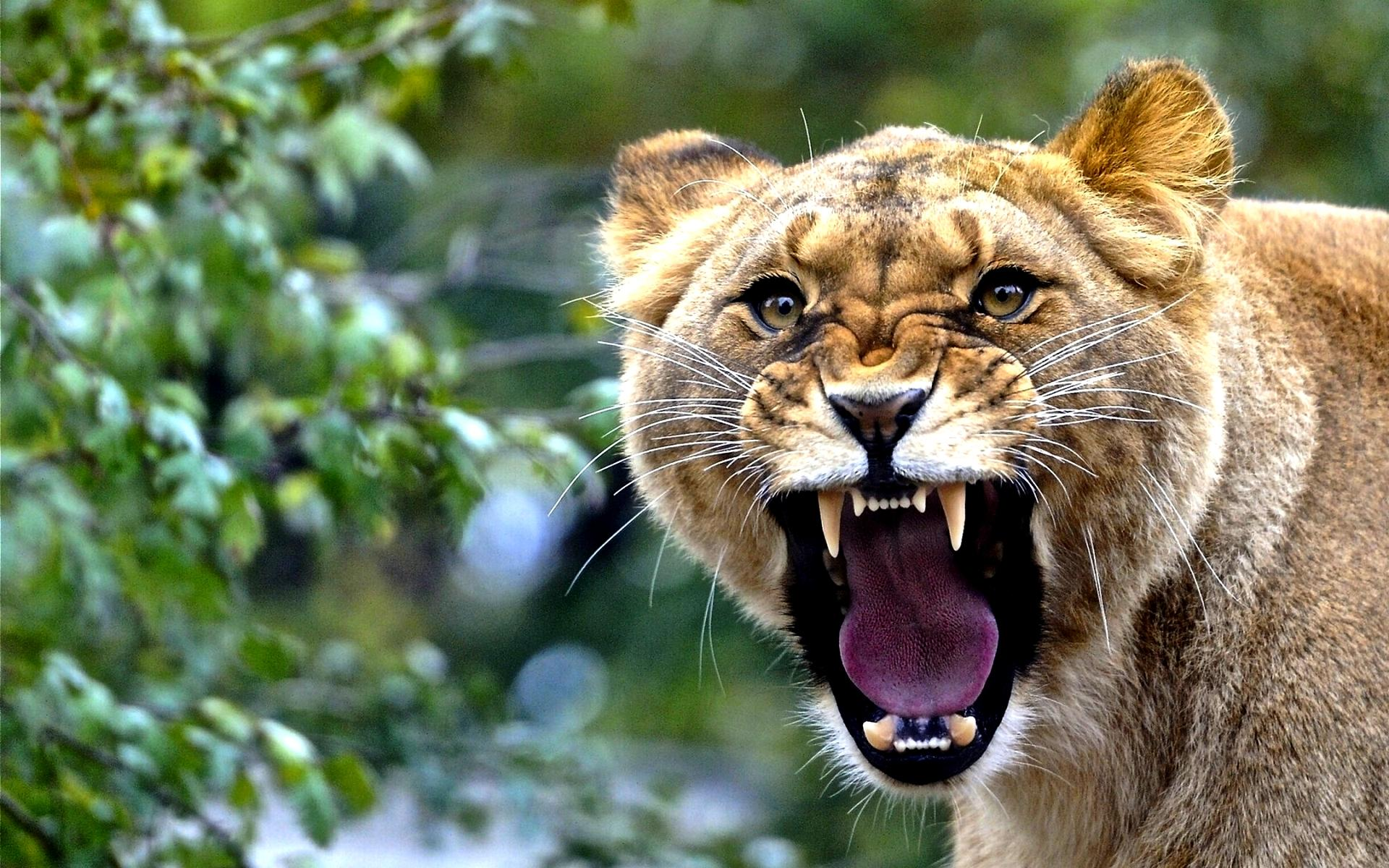 lioness wallpaper  roar