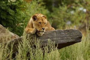 lioness wallpaper wild