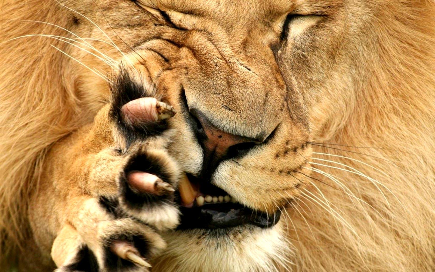 lions hd photos