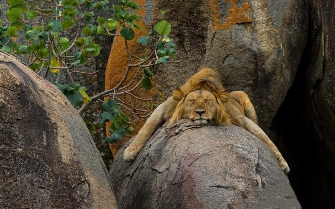 lions images download