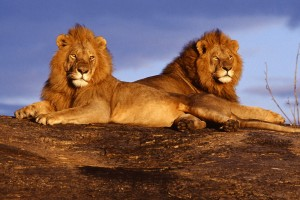 lions pictures free download