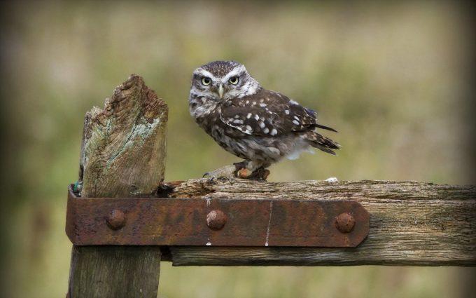 little owl wallpaper