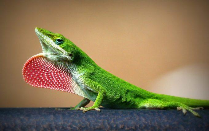 lizard image hd