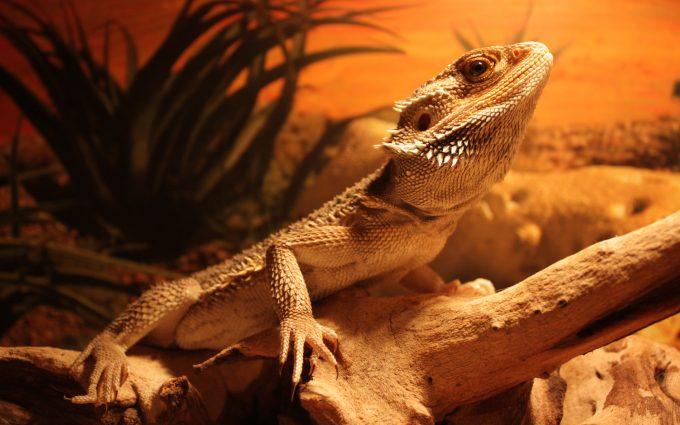 lizard images