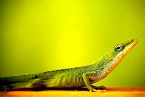 lizard wallpapers