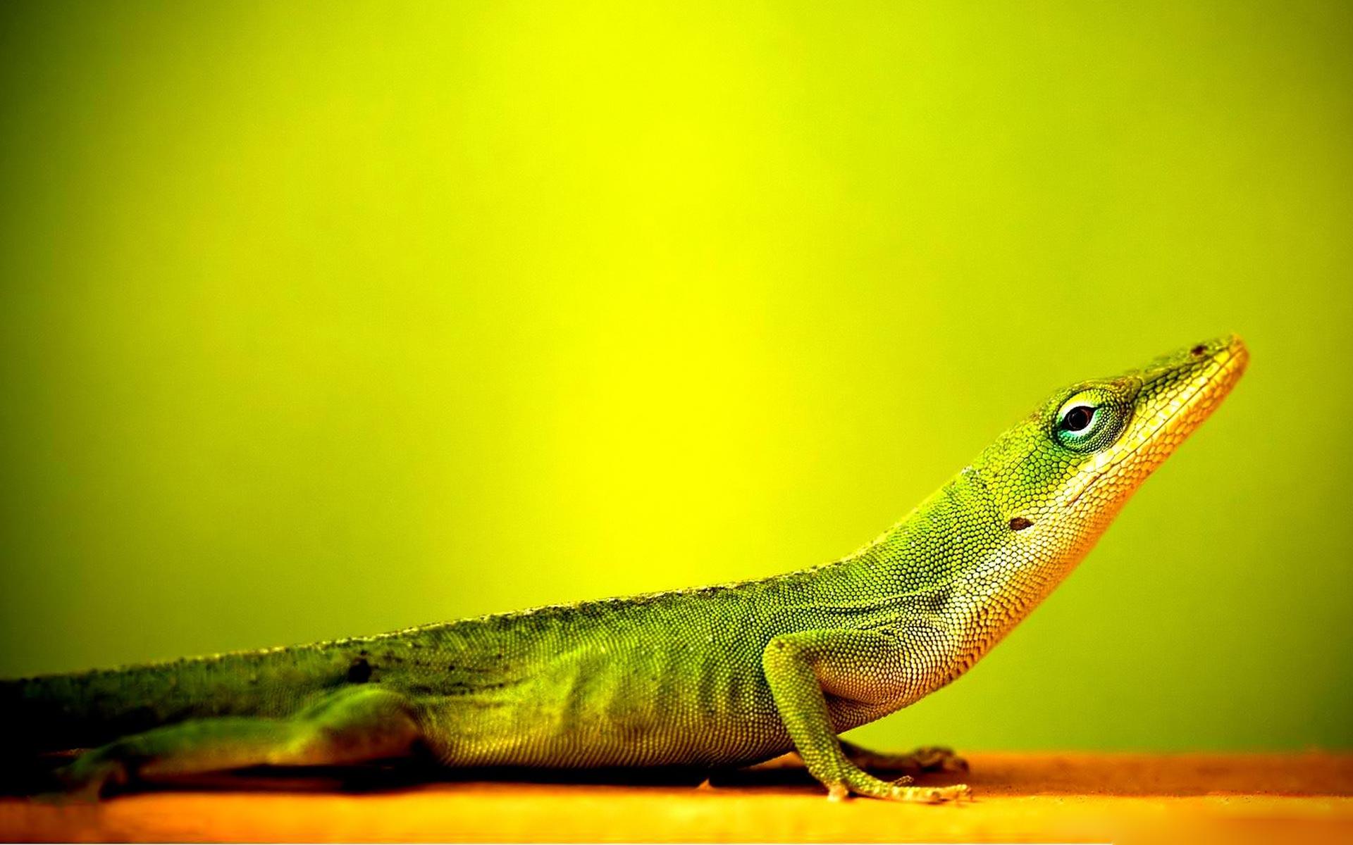 lizard wallpapers
