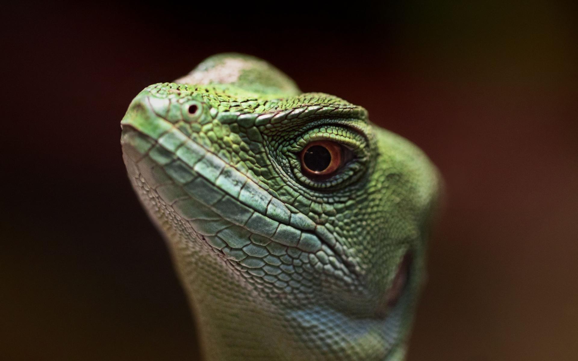 lizard HD Desktop Wallpapers 4k HD