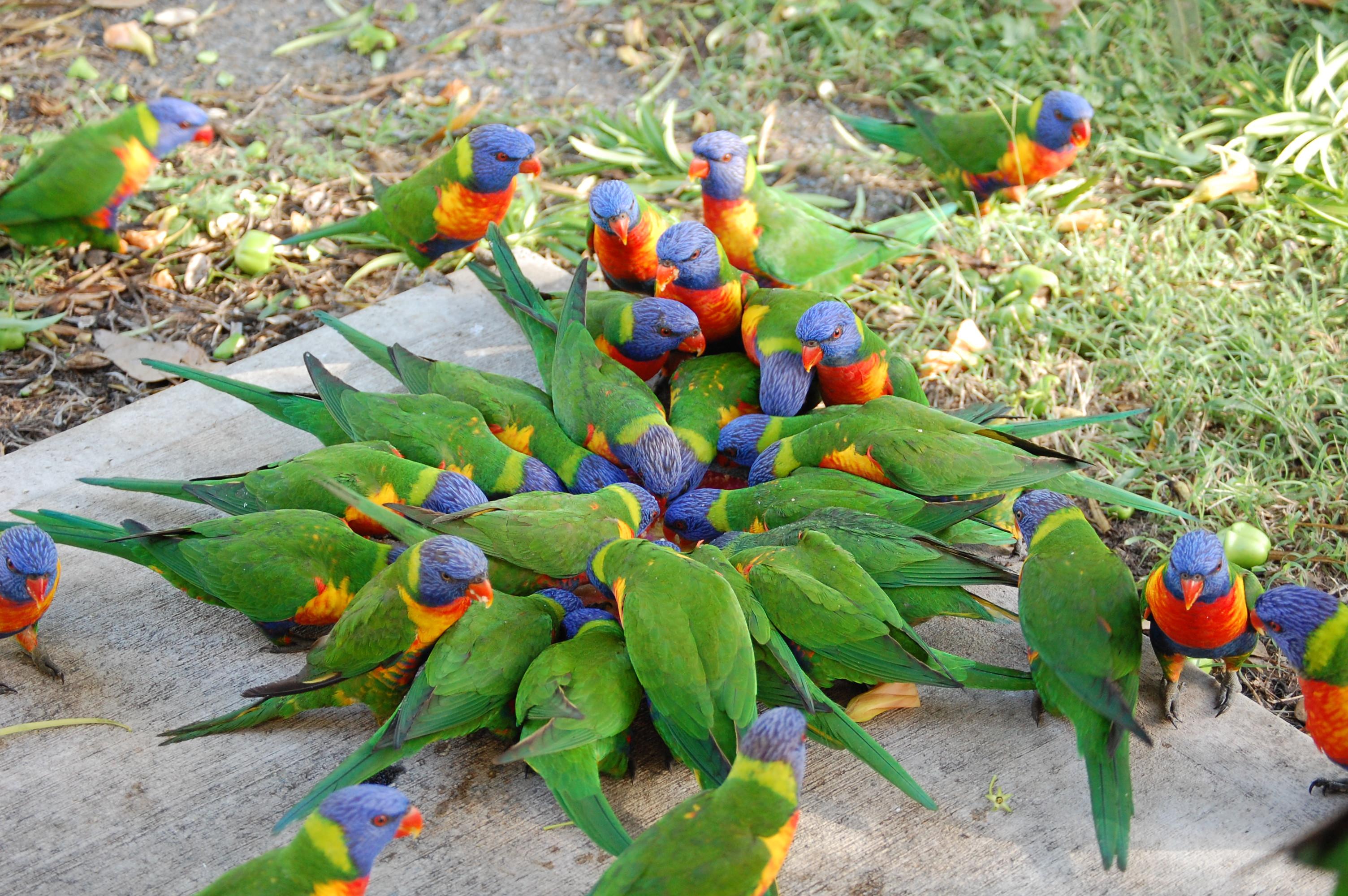 lorikeet birds wallpaper
