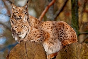 lynx cat pictures