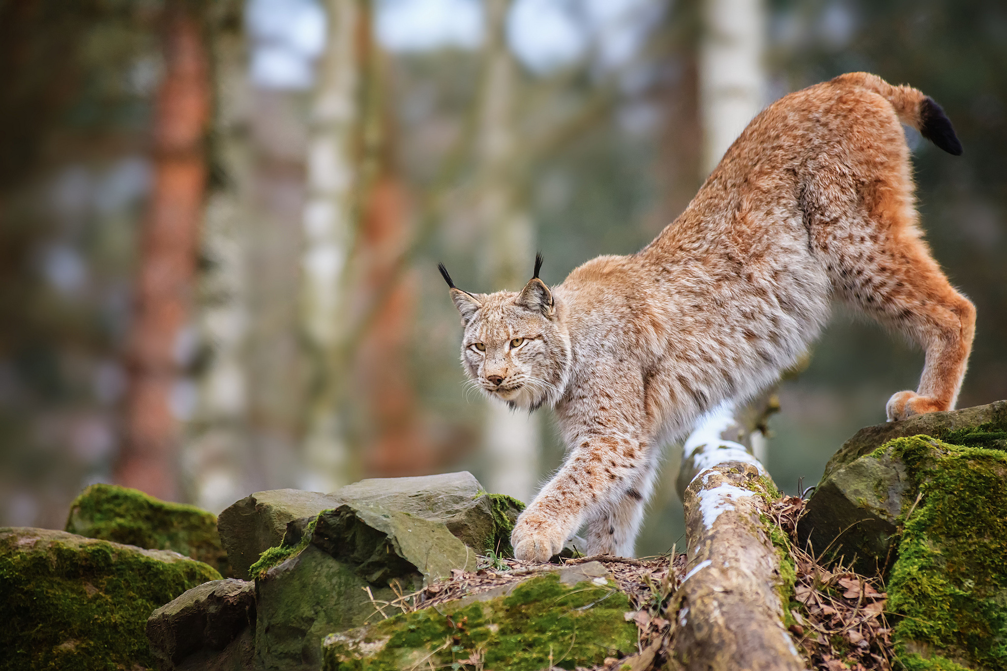 lynx images hd