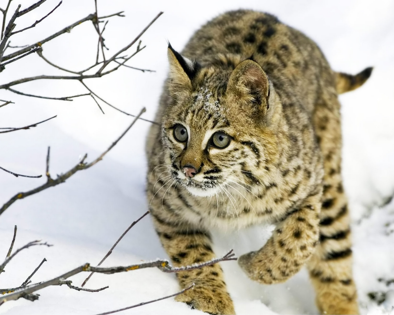 lynx pictures hd