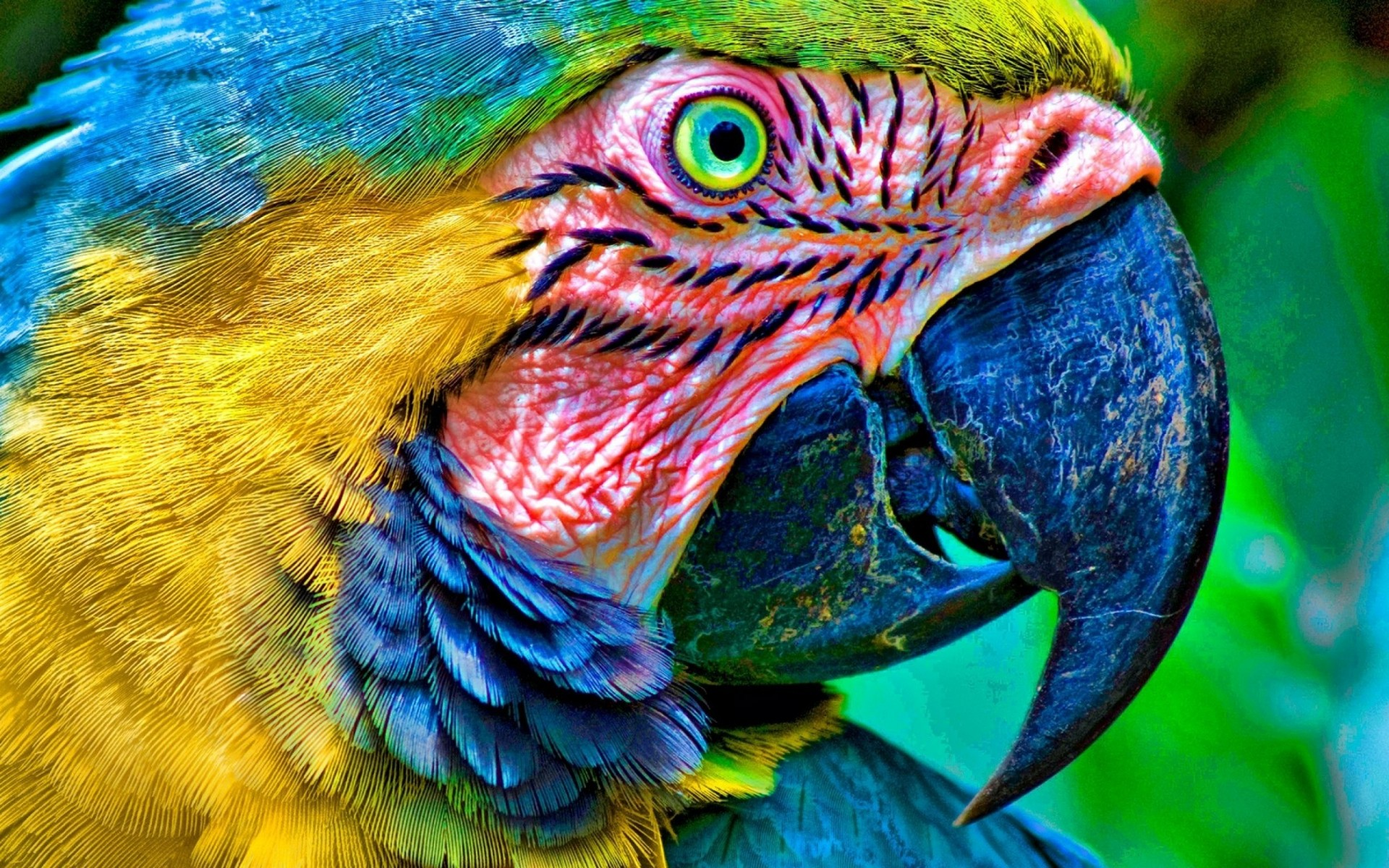 macaw parrot wallpaper hd