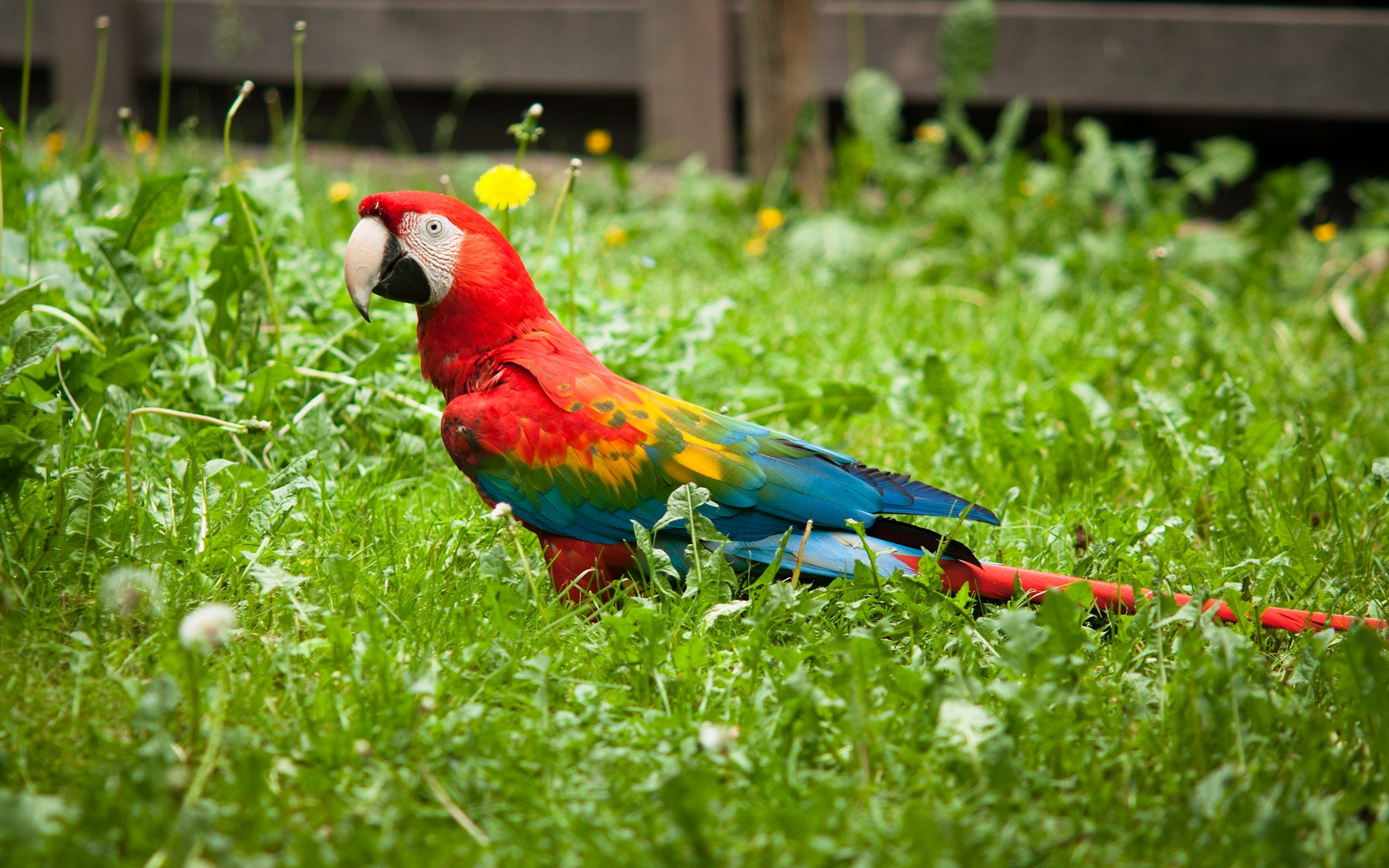 macaw parrot wallpapers hd
