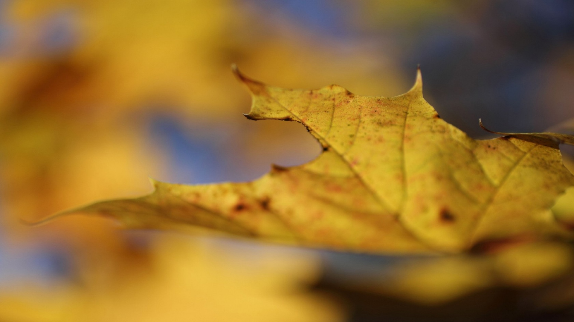 macro wallpaper autumn