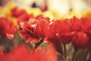 macro wallpaper red 1080p