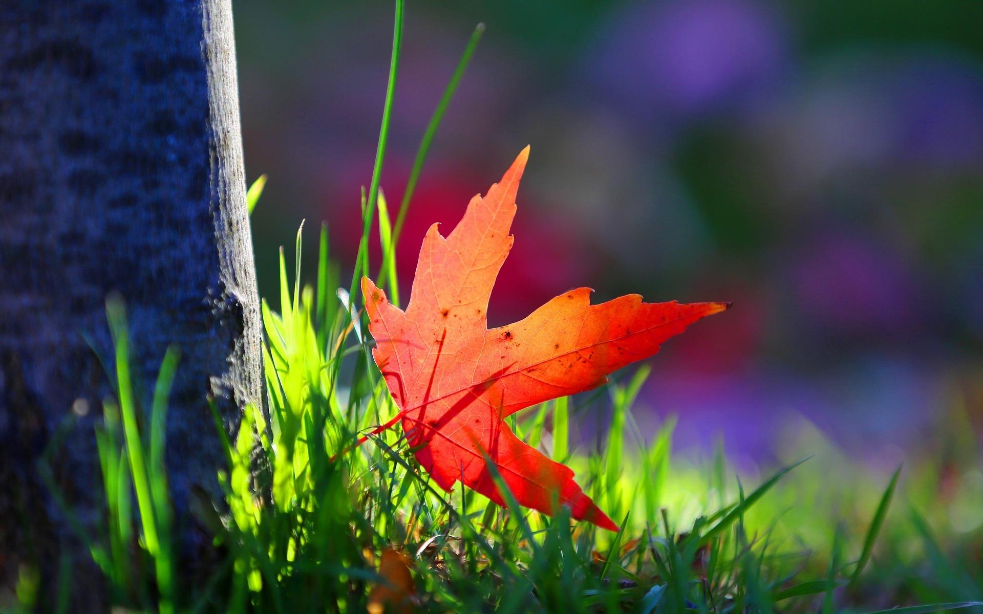 macro wallpaper red leaf