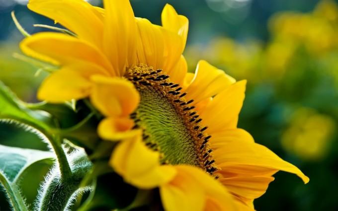 macro wallpaper sunflower