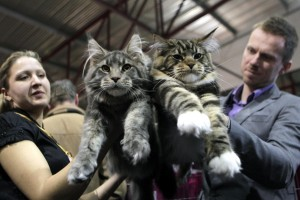 "Ruta (L) and Ivo Obrumanis hold their Maine Coon cats during the international ""Pet Expo"" show in Riga March 30, 2013. REUTERS/Ints Kalnins (LATVIA - Tags: ANIMALS SOCIETY)"