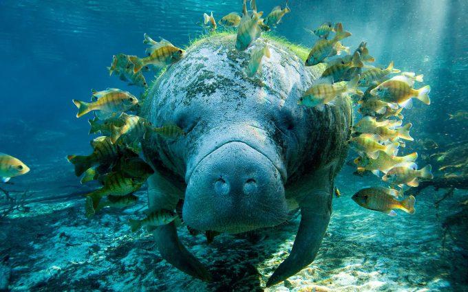 manatee fish
