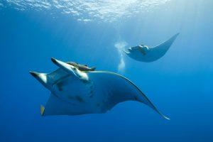 manta ray fish