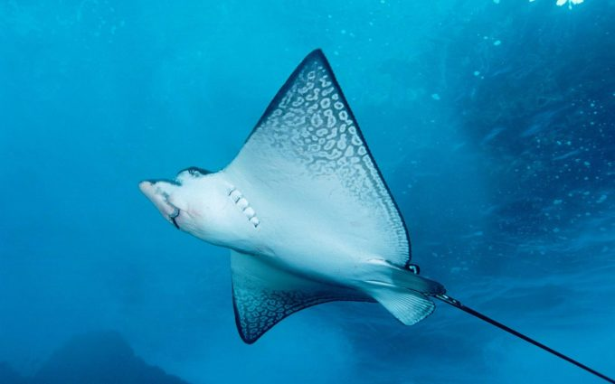 manta ray pictures
