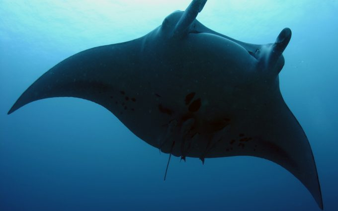 mantaray fish