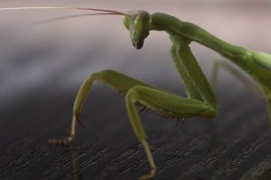 mantis hd