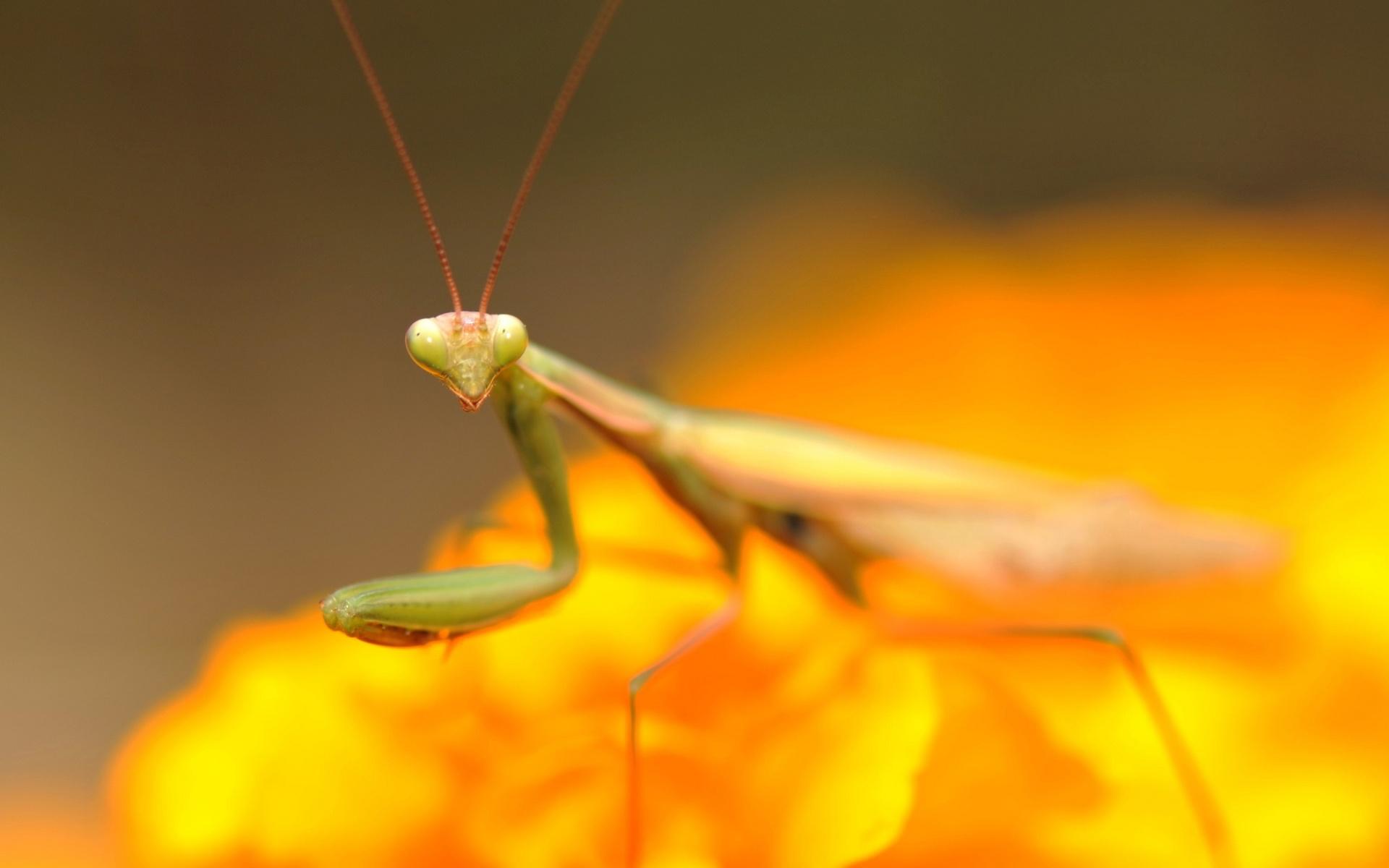 mantis wallpaper