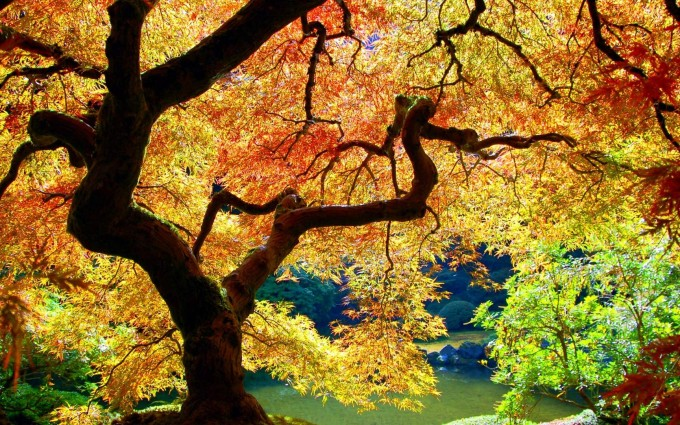 maple tree wallpaper