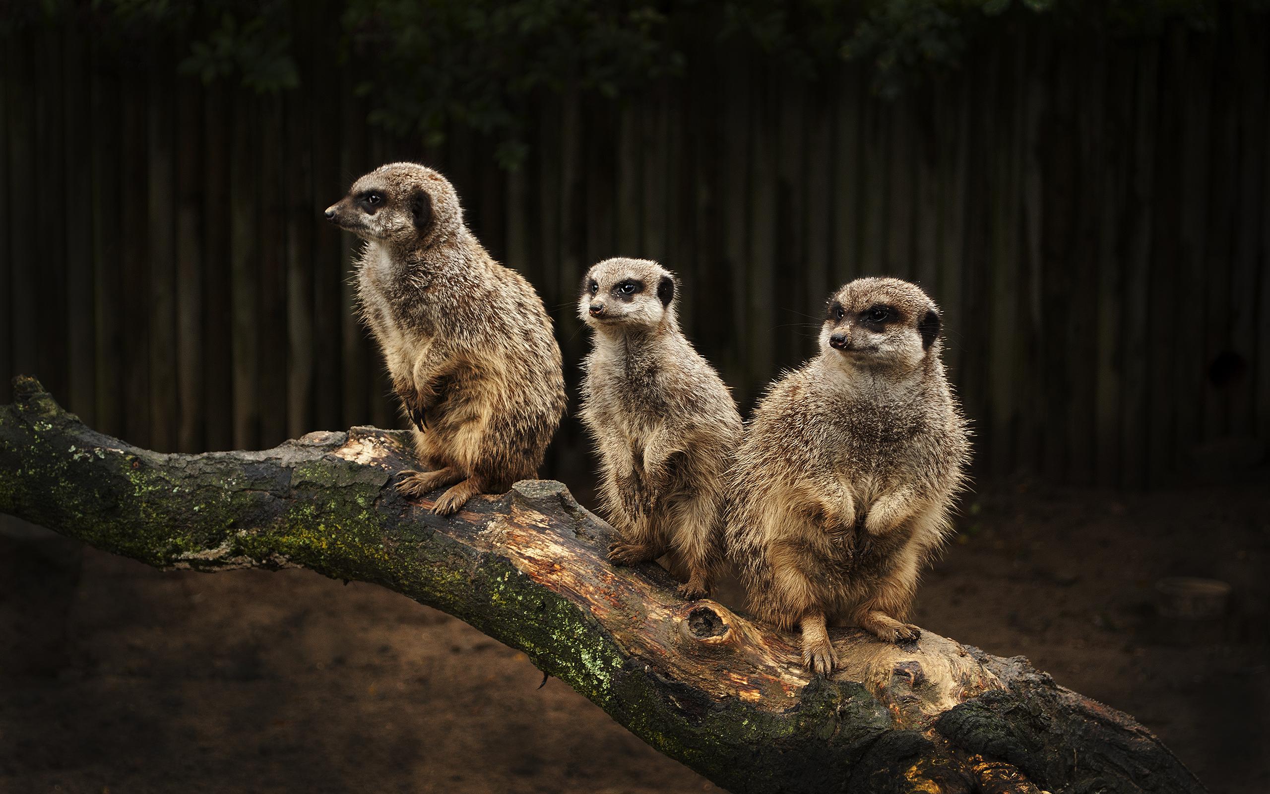 meerkat animal