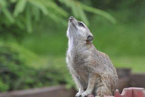 meerkat pictures to print