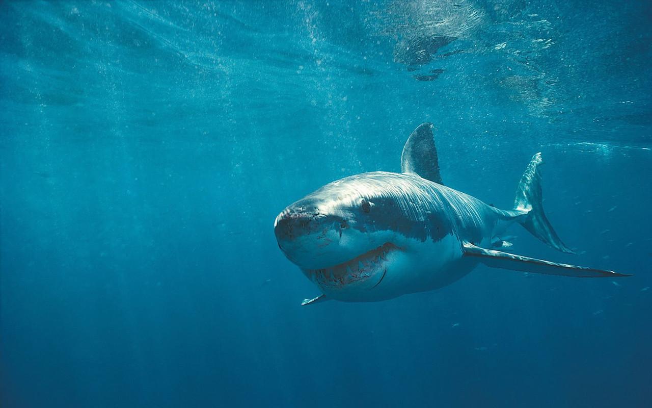 megalodon shark photos