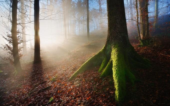 mist wallpaper forest
