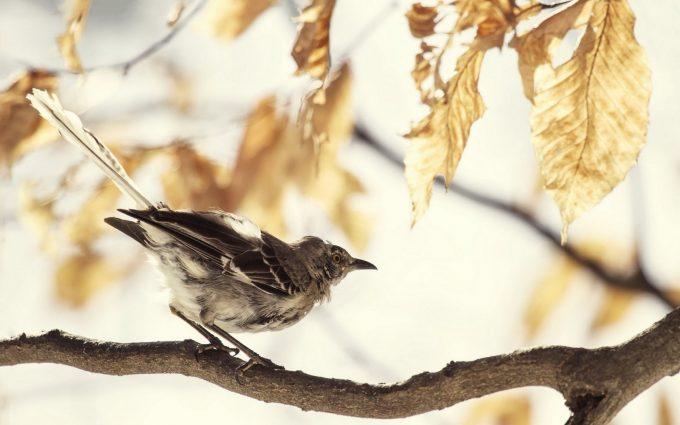 mockingbird bird