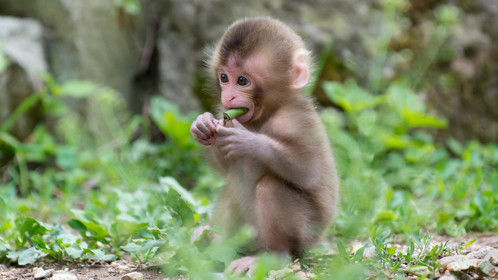 monkey wallpaper 1080p