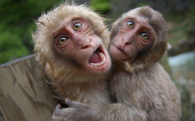 monkey wallpaper background
