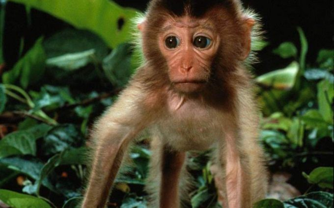 monkey wallpaper free