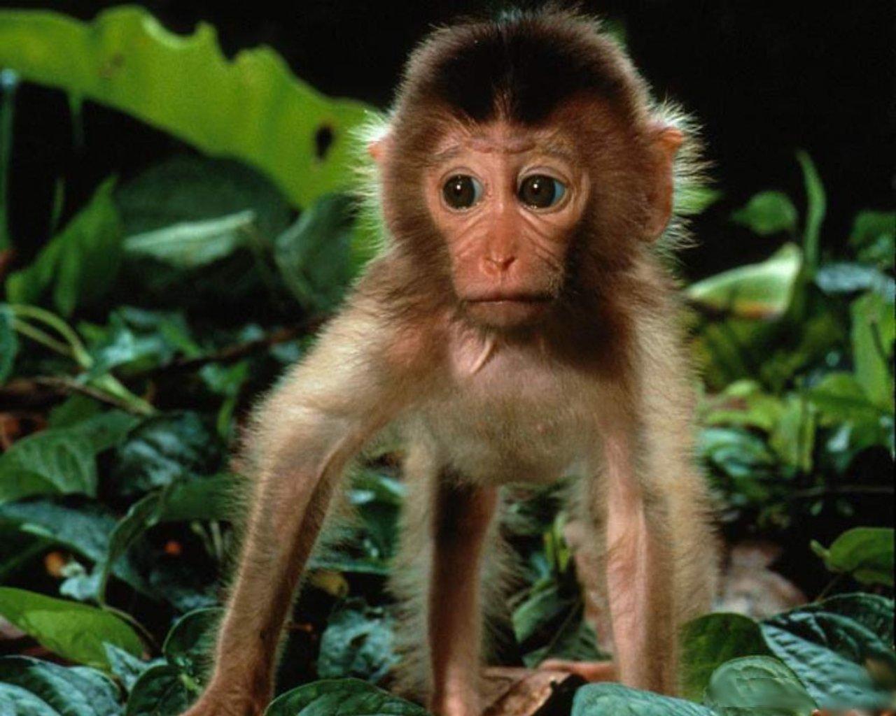 monkey wallpaper free