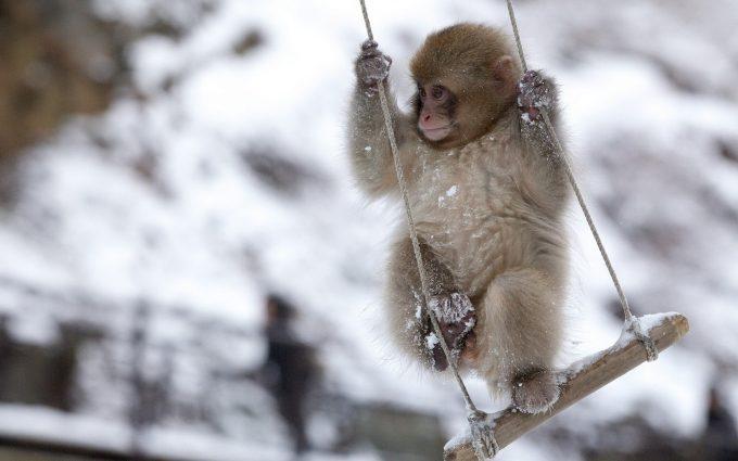monkey wallpaper hd