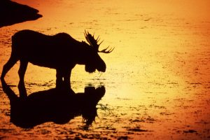 moose wallpaper