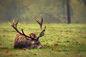 moose wallpaper animal