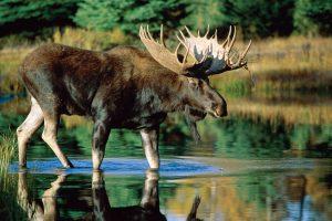 moose wallpaper background