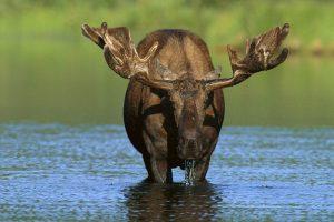 moose wallpaper download