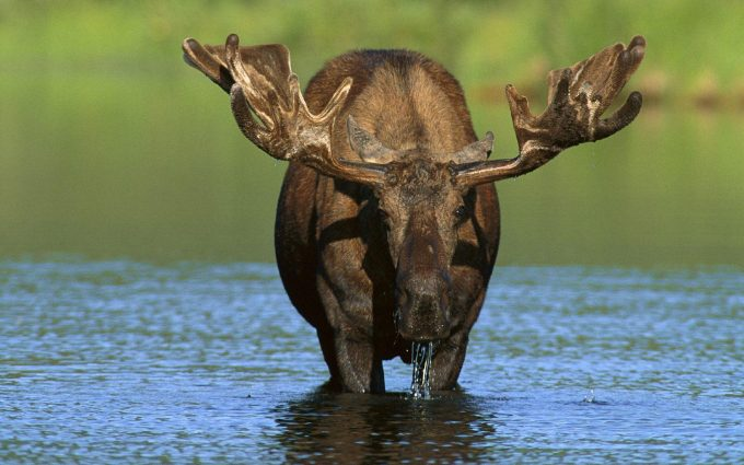 moose wallpaper download
