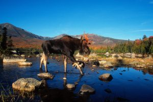 moose wallpaper landscape