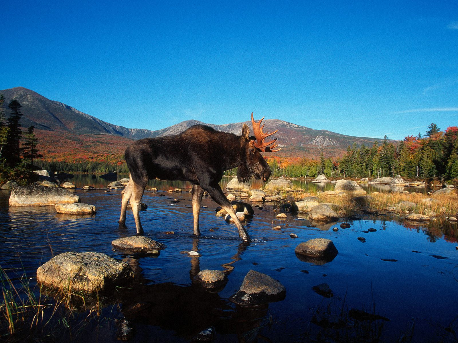 moose wallpaper landscape