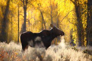 moose wallpapers