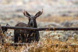 moose wallpapers hd