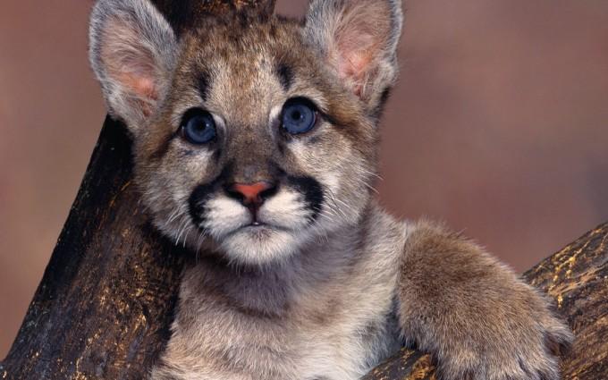 mountain lion cub